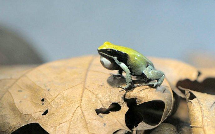 Бесхвостые амфибии, амфибии настоящие жабы стеклянные лягушки