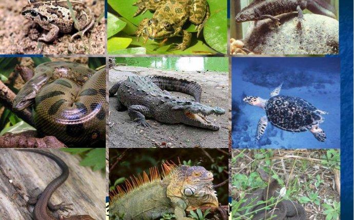 Черепаха тритон лягушка крокодил это