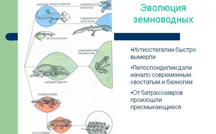Эволюция земноводных - Презентация 5592-12