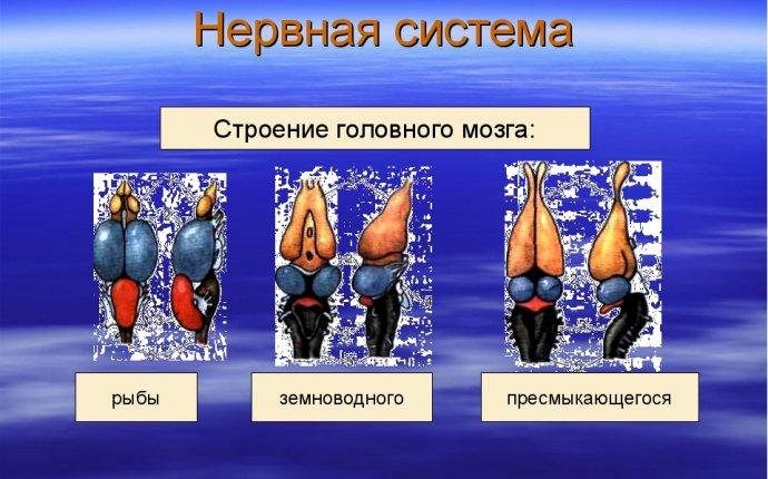 Головной мозг и нервная система рыбы - igrovieploschadki.ru