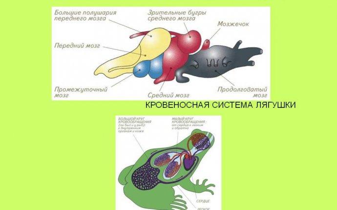 Головной мозг земноводных течет венозная кровь - panikyem.ru