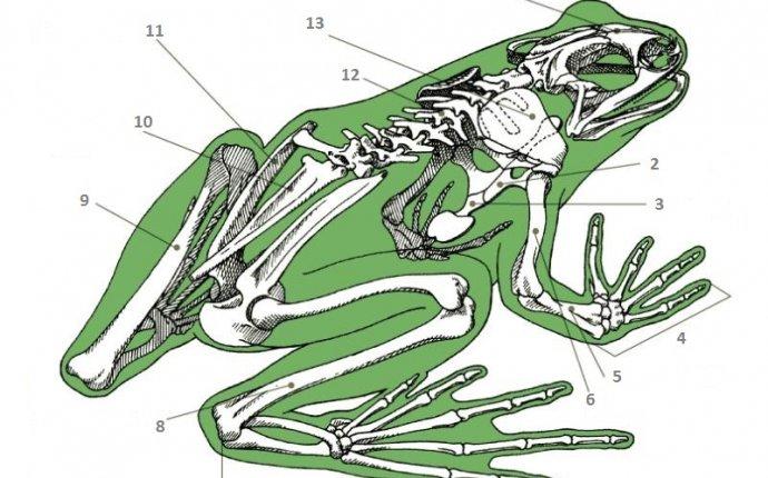 Лабораторная работа на тему земноводные на примере лягушки