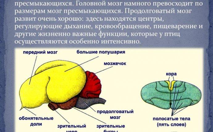 Наиболее развиты отделы головного мозга птиц - belogorsktown.ru