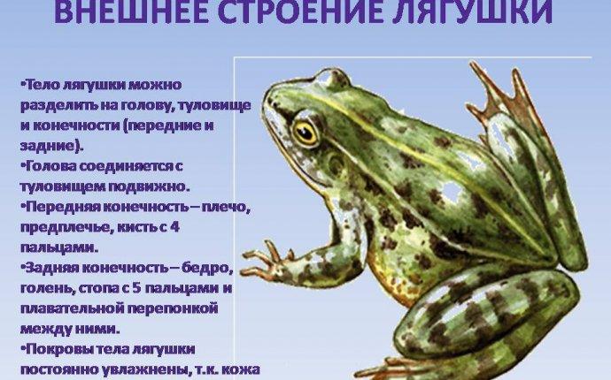Общая характеристика, внешнее строение земноводных - Презентации