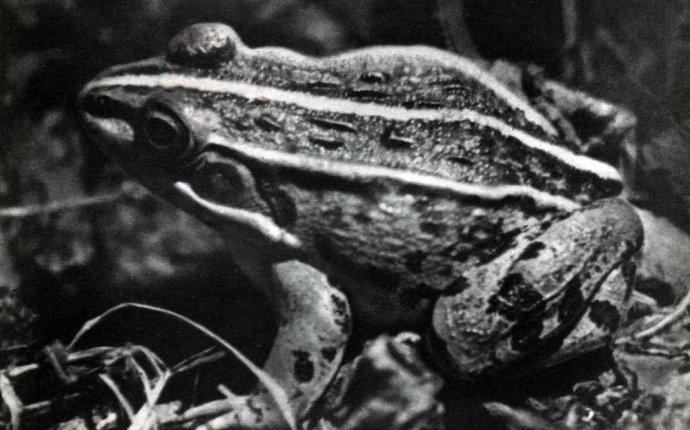 Отряд Бесхвостые земноводные (Anura) (М. Н. Денисова) [1969
