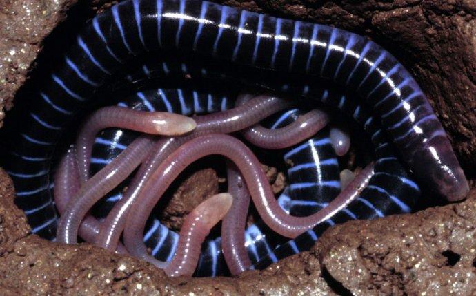 Отряд безногих земноводных – червяги
