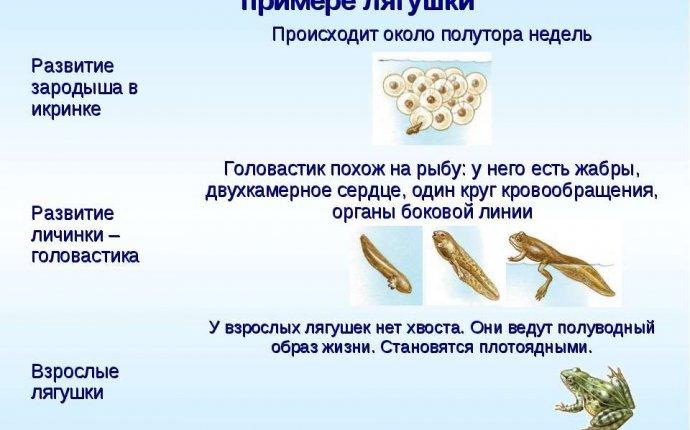 Презентация Класс Земноводные или Амфибии 7 класс - скачать