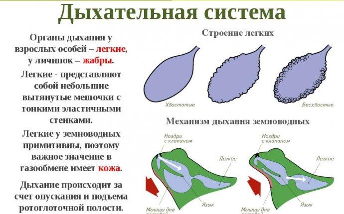 Презентация на тему Общая характеристика класса Земноводные