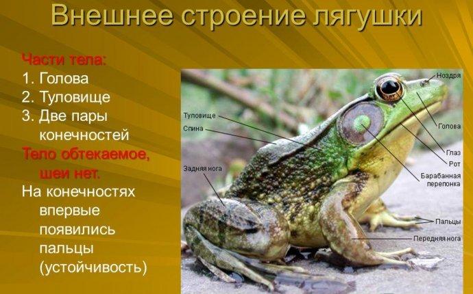 Презентация на тему: Prezentacii.com. Земноводные, или амфибии