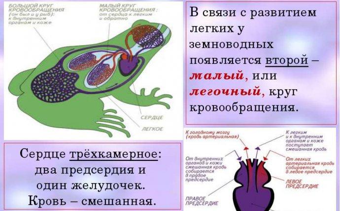 Презентация на тему Внутреннее строение земноводных - скачать
