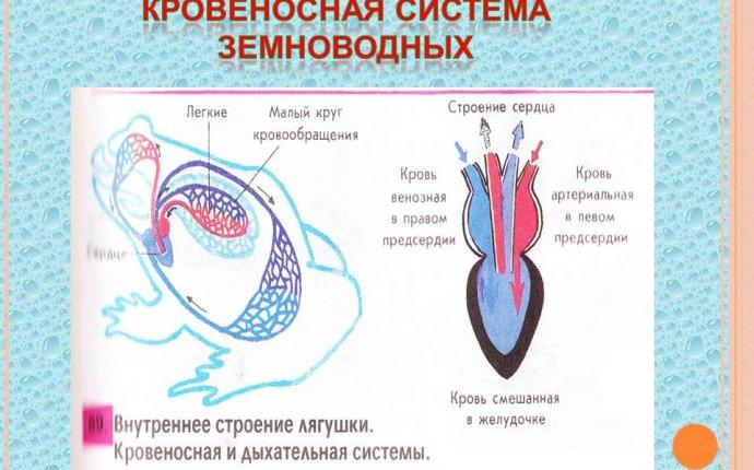 Схема эволюции кровеносной системы животных