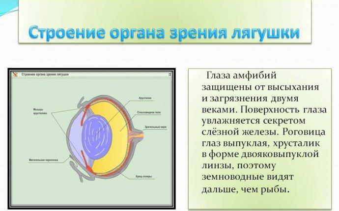 Схема строения глаза земноводных