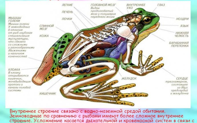 Схема внутреннего строения земноводных - Презентация 5590-6