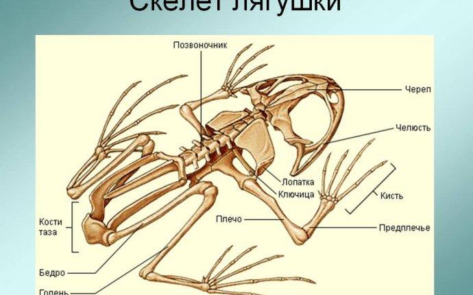 Скелет лягушки - Презентация 173647-16