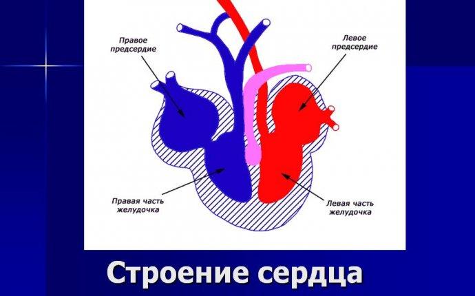 Строение сердца пресмыкающихся - Презентация 5713-8