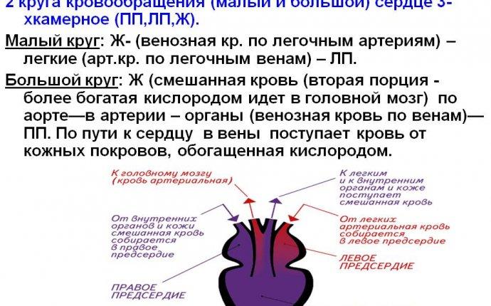 В) КЛАСС ЗЕМНОВОДНЫЕ: 2 круга кровообращения (малый и большой