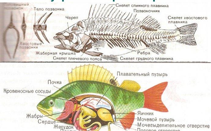 Внешнее строение рыбы Внешнее и внутреннее строение рыб