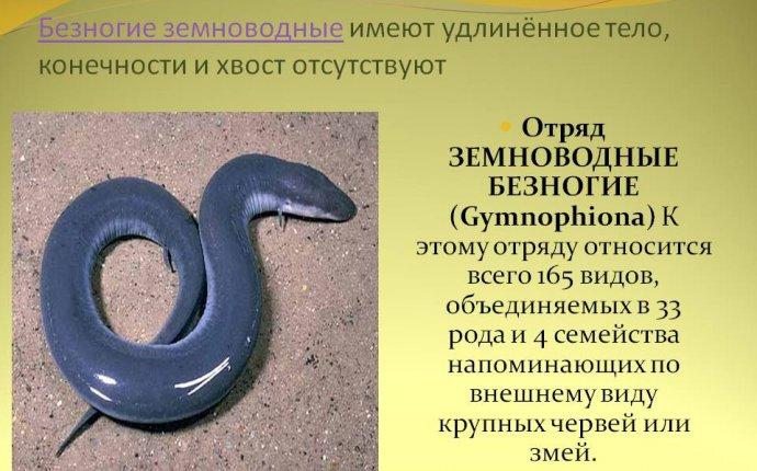 земноводные имеют удлинённое тело
